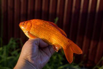 Оранжевая рыбка №20058
