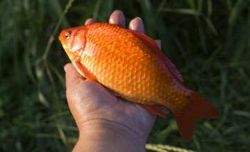 Желтая рыба №20060