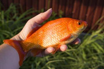 Желтая рыбка №20066