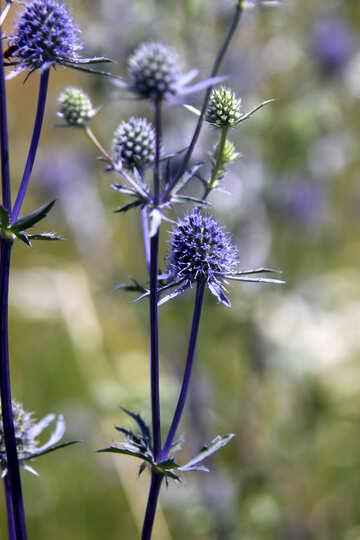 Blue grass №20347