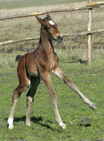 Foal learning to walk №20419