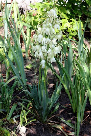 Große weiße Blume im Garten №20557