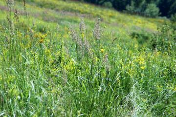 Wiese Gras №20212