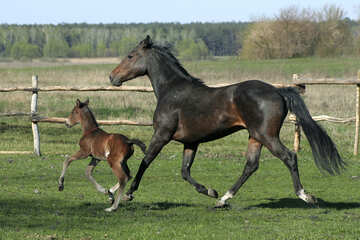 A horse with foal №20421