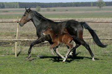 Horse foal learns to run №20428