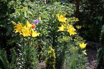 Zucht-Lilien №20650