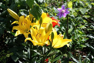 Lilien im Garten №20649
