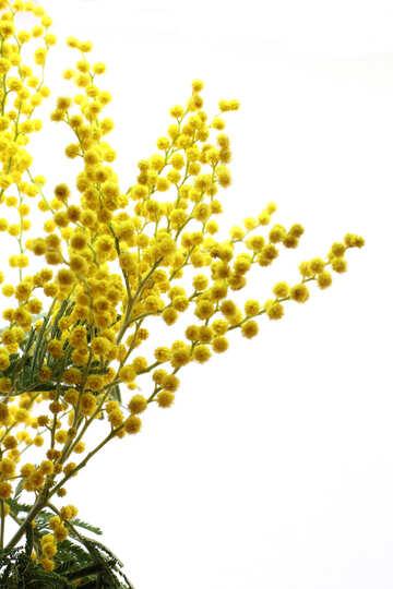 Mimosa №20498