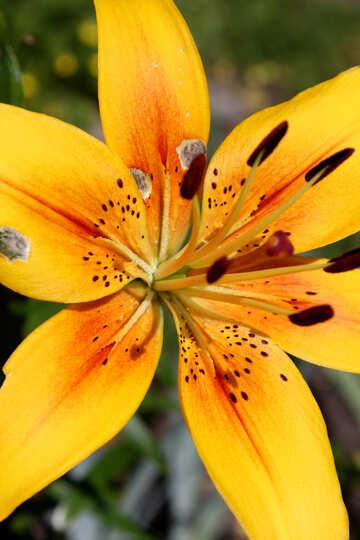 Macro lily №20618