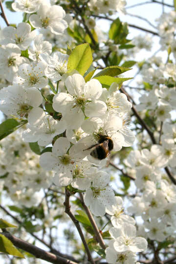 Bumblebee on flowering tree №20521