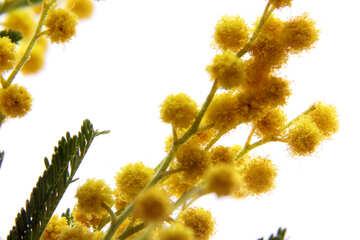 Flowered mimosa №20484