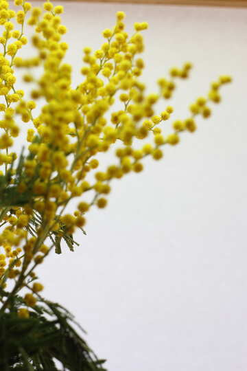 Branches of mimosa №20504