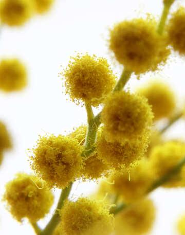 Mimosa fiore delicato №20492