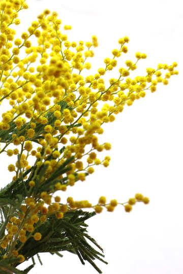 Flowering mimosa №20505