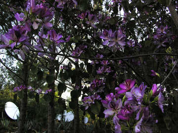 Flowering Clematis vine in Turkey №20801