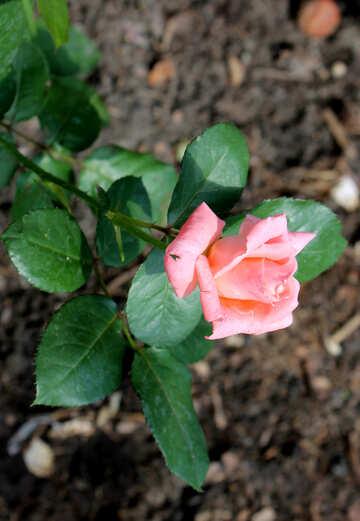 Rosa delicata №20655