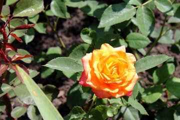 Yellow Rose №20647