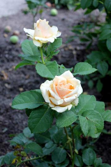 White rose nel giardino №20629