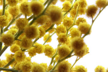 Yellow flower balls №20483