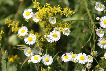 As chamomile flower with thin petals №20339