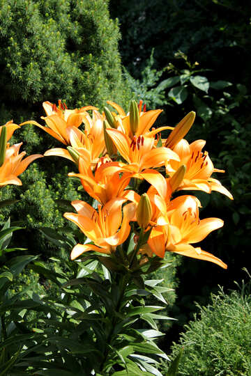 Elegant Lily №20645