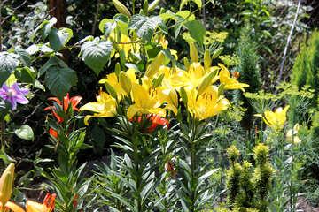 Varietal Lily №20658