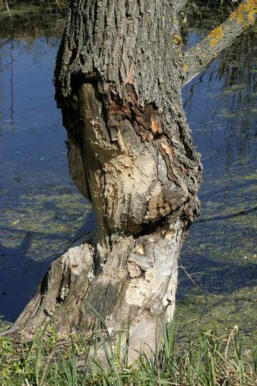 Beaver tree №20402