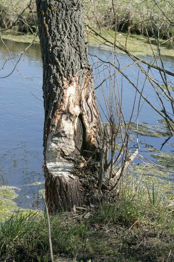 Gnawing beaver tree №20399