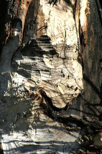 Beaver teeth marks on the tree №20398