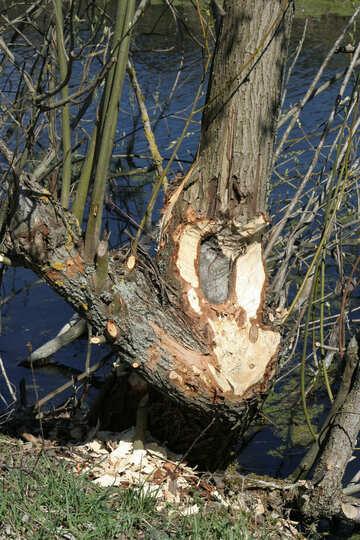 Beavers gnaw trees №20396