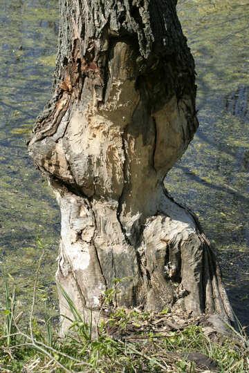 Beavers gnaw trees №20404