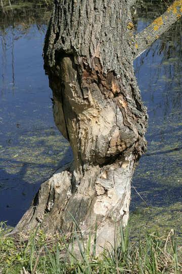 Beavers sawing trees №20401
