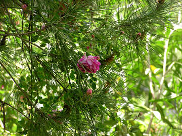Flower on pine tree №20963