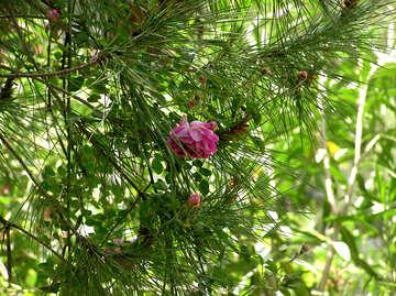 Blume auf Kiefer №20963