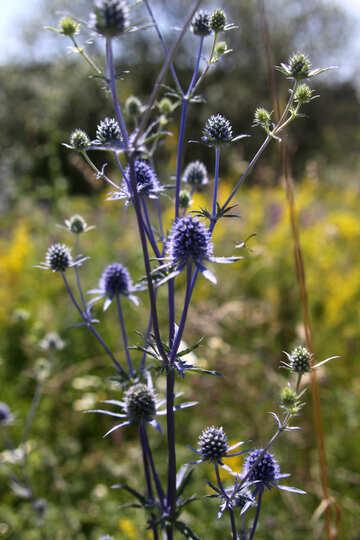 Blue weed №20350