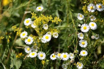 Wild flower like daisy №20340