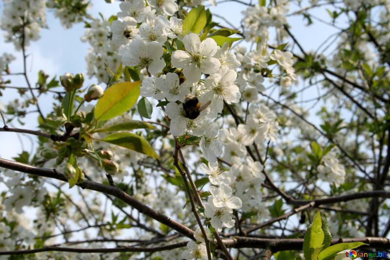 Опыление вишни №20523