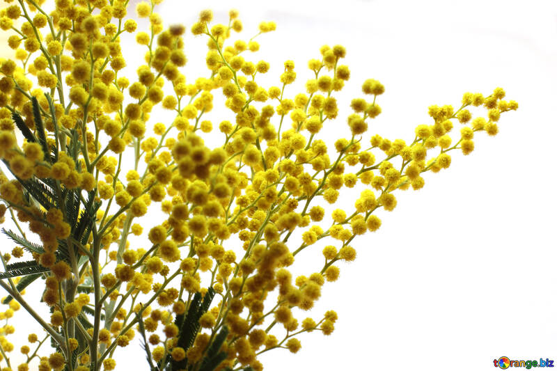 Bouquet of mimosa №20475