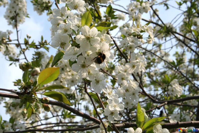 Цветение вишни №20522