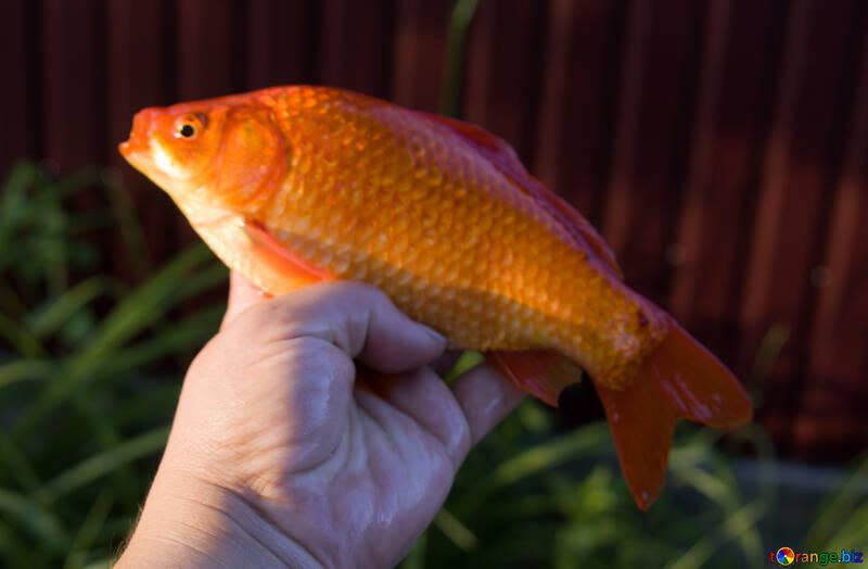Orange fish №20059