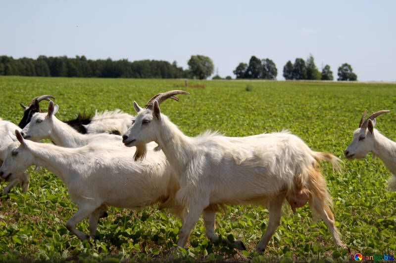 Goats №20313