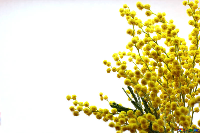 Branch of mimosa №20469