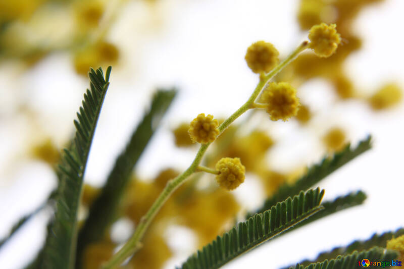 Flor de Mimosa №20486