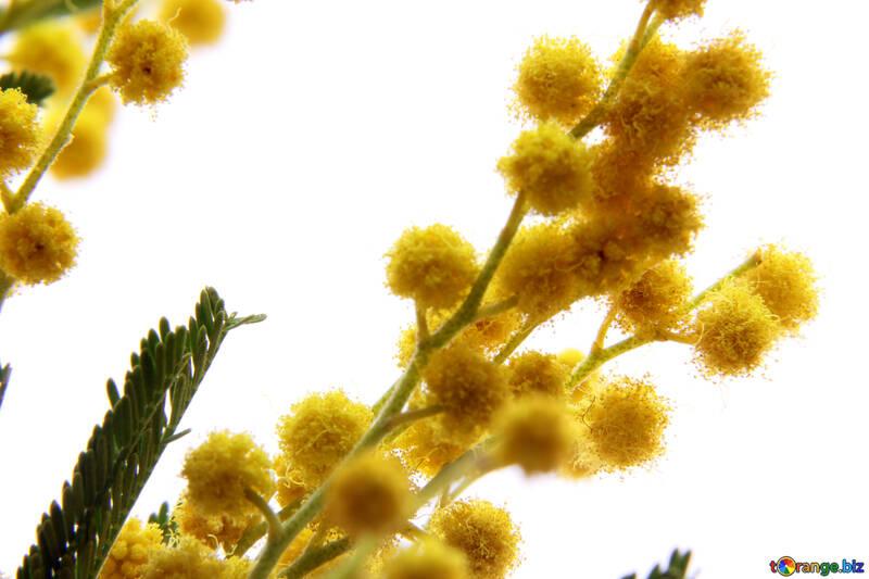 Flores de mimosa №20484