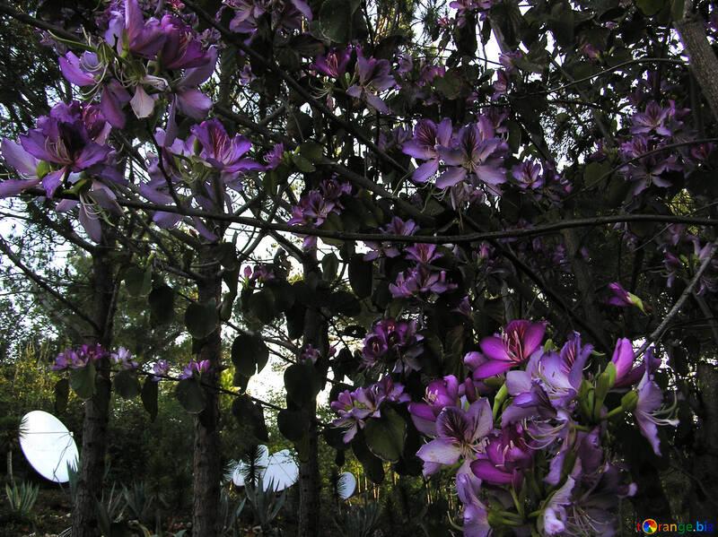 Flowering Clematis vine in Turkey №20801