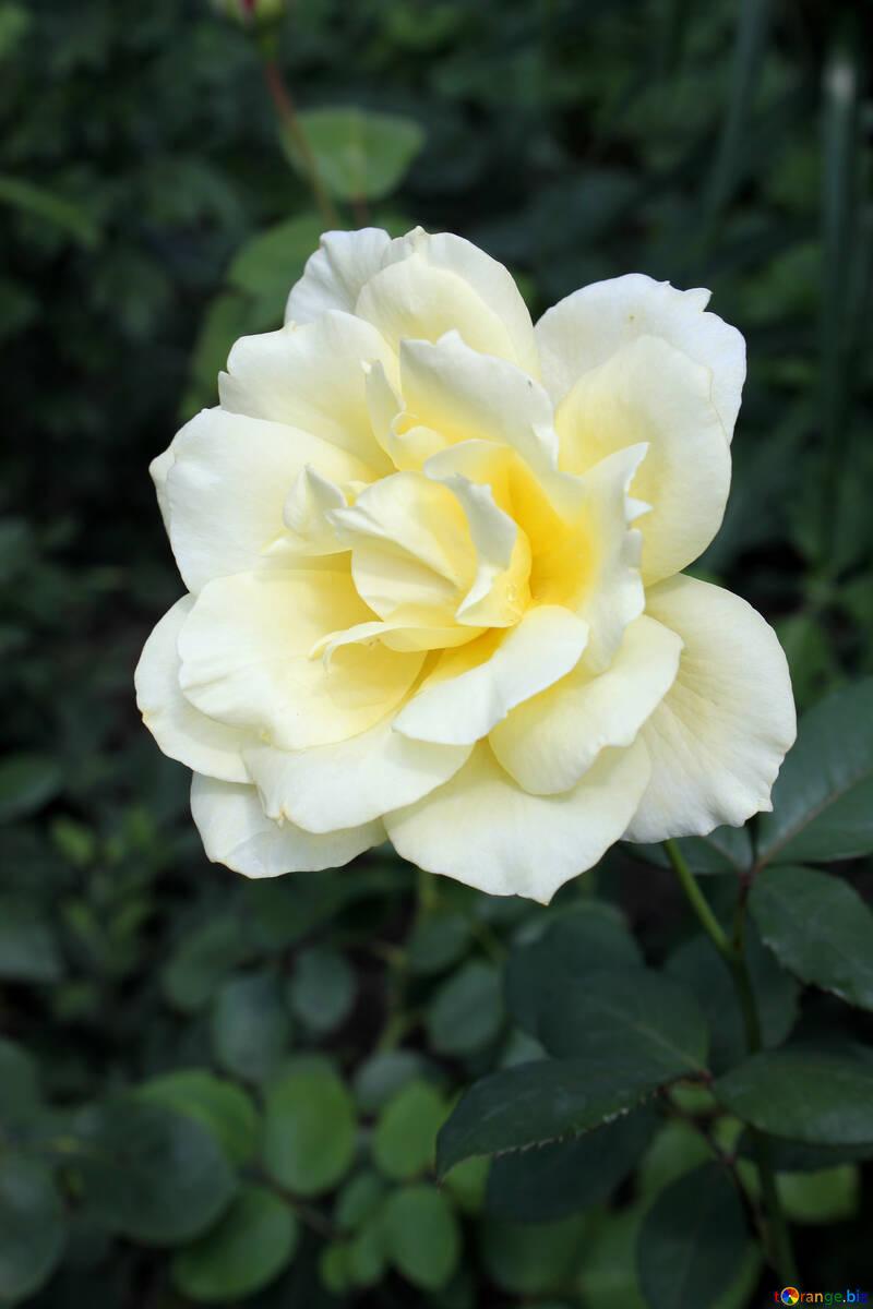 White Rose №20627