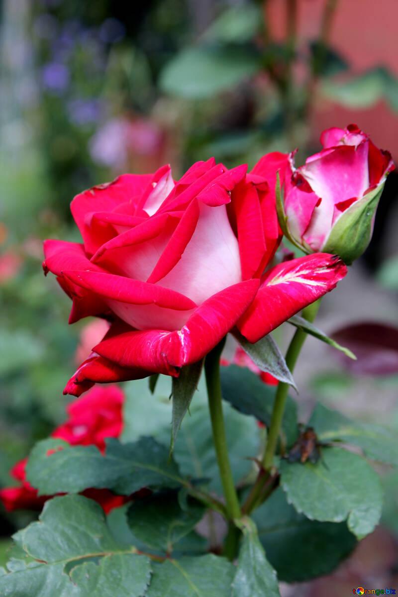Roses №20664