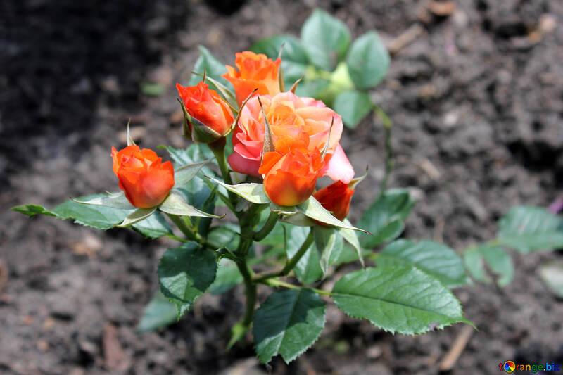 Алые розы №20657
