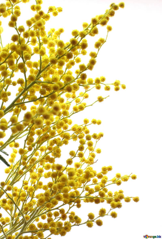 Las ramas de una acacia №20500
