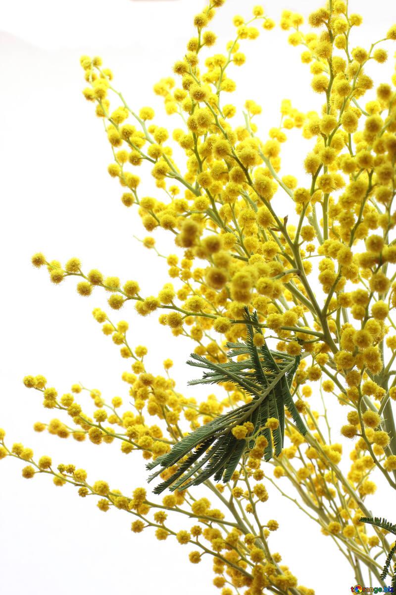 Yellow acacia №20499